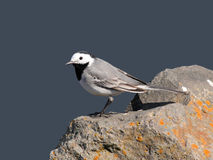Sweet white wagtail Royalty Free Stock Photos