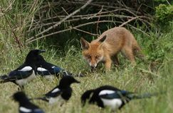 A cute wild Red Fox Cub, Vulpes vulpes, feeding in the long grass at the entrance to its den. It is being watched by Magpies, who royalty free stock photo