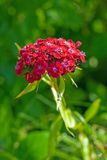 Sweet William Stock Photo