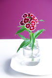 Sweet william Stock Image