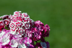 Sweet William Bouquet Royalty Free Stock Photo
