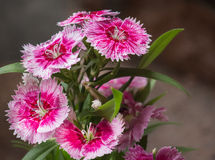 Sweet William Stock Images