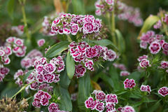 Sweet william, Dianthus barbatus, Bartnelke - Stock image Stock Images
