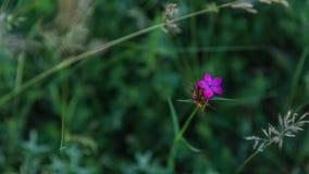 Sweet William or Dianthus barbatus carnation closeup Royalty Free Stock Photography