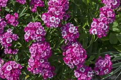 Sweet William or Dianthus barbatus flower is a flowering plant in the garden, district Drujba. Sofia, Bulgaria royalty free stock images