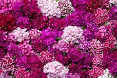 Sweet William. Dianthus Barbatus (Sweet William) flowers Stock Image
