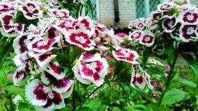 Sweet William Dianthus barbatus Stock Photography