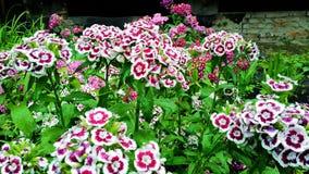 Sweet William Dianthus barbatus Stock Image