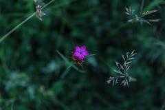 Sweet William or Dianthus barbatus little carnation closeup Stock Photo