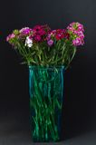 Sweet William or Dianthus barbatus. Royalty Free Stock Photography