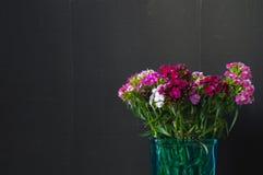 Sweet William or Dianthus barbatus. Stock Photo