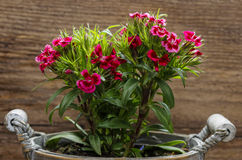 Sweet William or Dianthus barbatus Royalty Free Stock Photos