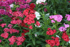 Sweet william dianthus garden stock photography