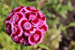 Sweet William. An electric ball of colour floating Royalty Free Stock Photography