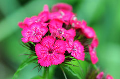 Sweet william flower blossom Dianthus barbatus Stock Photo