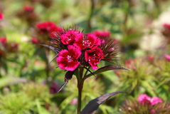 Sweet William flower. Dianthus barbatus Royalty Free Stock Photography