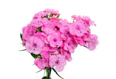 Sweet william flower Stock Photo
