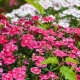 Sweet william flowers Stock Image