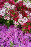 Sweet William flowers. Backgrounds and textures: Sweet William, or carnation, flowers on a street vendor`s counter, floral abstract Stock Photo