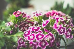 Sweet william flowers. Beautiful sweet william flowers. Close up, toned image, selective focus Royalty Free Stock Photography