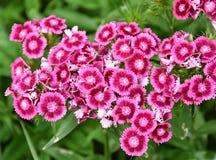 Free Sweet William Flowers Dianthus Barbatus Stock Photography - 109653022
