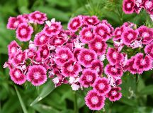Sweet William flowers Dianthus barbatus. Bright pink Sweet William flowers Dianthus barbatus flowering in a garden stock photography