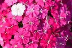 Sweet William Flowers Stock Image