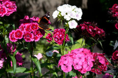 Sweet William flowers and a peacock butterfly. Pink and red flowers of Sweet William in a garden with a peacock flower landing on it. The flowers of this plant Stock Image