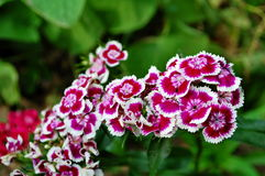 Sweet William flowers. Photography of Sweet William flowers in the garden Stock Photo