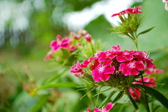Sweet William flowers. Photography of Sweet William flowers in the garden Stock Photos