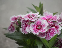 Sweet William Stock Photography