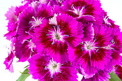 Sweet william Royalty Free Stock Image