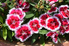 Sweet William1. Sweet William reddish Pink Flower Stock Photo