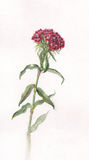 Sweet william watercolor painting Royalty Free Stock Photos