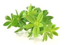 Sweet woodruff Royalty Free Stock Images
