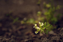 Sweet woodruff coming into bloom Royalty Free Stock Photography