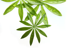 Sweet Woodruff Foliage Royalty Free Stock Images