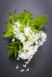 Sweet woodruff Stock Images