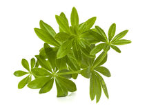 Sweet woodruff twig isolated Stock Photography