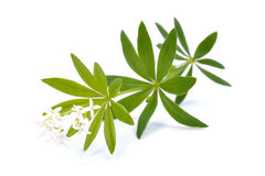 Sweet woodruff Stock Photo