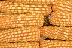 Sweet yellow corn background. maize cob. crop in agriculture ind Royalty Free Stock Images
