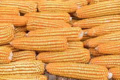 Sweet yellow corn background. maize cob. crop in agriculture ind Stock Photo