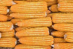 Sweet yellow corn background. maize cob. crop in agriculture ind Stock Images