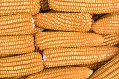 Sweet yellow corn background. maize cob. crop in agriculture ind Stock Photos