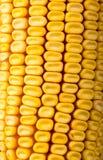 Sweet yellow corn cobs macro Royalty Free Stock Image