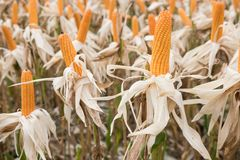 Sweet yellow corn in farm. maize cob. crop in agriculture indust Stock Images