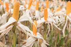 Sweet yellow corn in farm. maize cob. crop in agriculture indust Stock Image