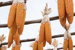 Sweet yellow corn in farm. maize cob. crop in agriculture indust Royalty Free Stock Photo
