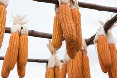 sweet yellow corn in farm. maize cob. crop in agriculture indust Royalty Free Stock Image