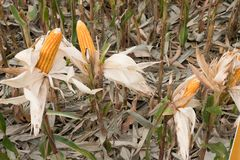 sweet yellow corn in farm. maize cob. crop in agriculture indust Stock Photography